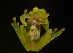 fleischmanns-glass-frog-5197-copyright-photographers-on-safari-com