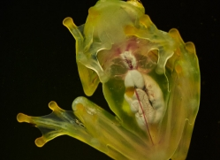 fleischmanns-glass-frog-5198-copyright-photographers-on-safari-com