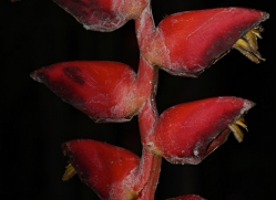 flower-costa-rica-5167-copyright-photographers-on-safari-com