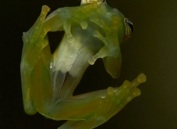 glass-frog-copyright-photographers-on-safari-com-8016