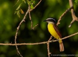 great-kiskadee-5296-copyright-photographers-on-safari-com
