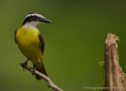 great-kiskadee-5298-copyright-photographers-on-safari-com