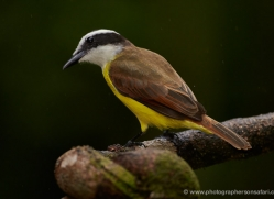 great-kiskadee-5299-copyright-photographers-on-safari-com