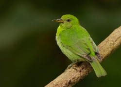 green-honeycreeper-copyright-photographers-on-safari-com-8018