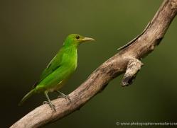green-honeycreeperfemale-5280-copyright-photographers-on-safari-com