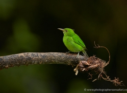 green-honeycreeperfemale-5281-copyright-photographers-on-safari-com