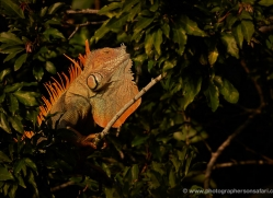 green-iguana-5180-copyright-photographers-on-safari-com