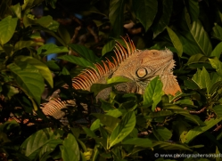 green-iguana-5181-copyright-photographers-on-safari-com