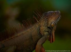 green-iguana-5182-copyright-photographers-on-safari-com