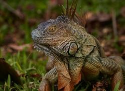 green-iguana-5184-copyright-photographers-on-safari-com