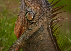 green-iguana-5185-copyright-photographers-on-safari-com