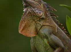 green-iguana-5205-copyright-photographers-on-safari-com