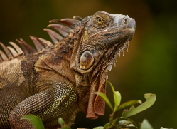 green-iguana-copyright-photographers-on-safari-com-8019