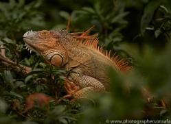 green-iguana-copyright-photographers-on-safari-com-8020