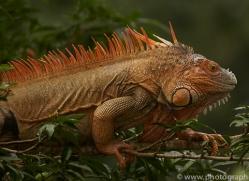 green-iguana-copyright-photographers-on-safari-com-8021