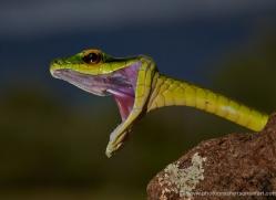 green-parrot-snake-5244-copyright-photographers-on-safari-com