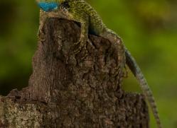 green-spiny-lizard-copyright-photographers-on-safari-com-8023