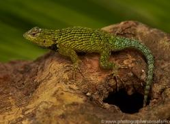 green-spiny-lizard-copyright-photographers-on-safari-com-8024