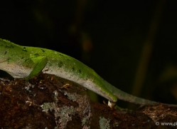 green-tree-anole-5239-copyright-photographers-on-safari-com