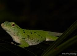 green-tree-anole-5240-copyright-photographers-on-safari-com