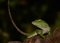 green-tree-anole-5241-copyright-photographers-on-safari-com
