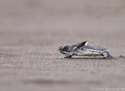 green-turtle-copyright-photographers-on-safari-com-8026