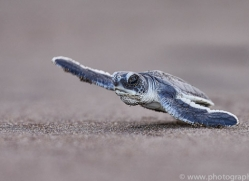 green-turtle-copyright-photographers-on-safari-com-8027