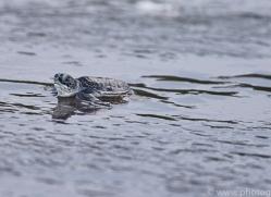 green-turtle-copyright-photographers-on-safari-com-8028