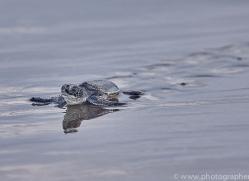 green-turtle-copyright-photographers-on-safari-com-8029