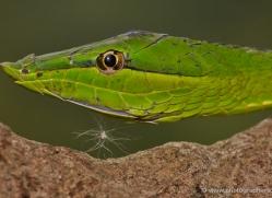 green-vine-snake-5242-copyright-photographers-on-safari-com