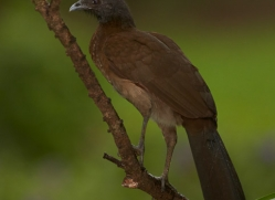 grey-headed-chachalaca-5308-copyright-photographers-on-safari-com