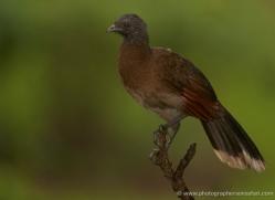 grey-headed-chachalaca-5309-copyright-photographers-on-safari-com