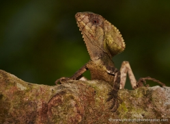 helmet-lizard-5236-copyright-photographers-on-safari-com