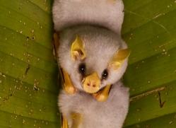 honduran-white-bat-copyright-photographers-on-safari-com-8030