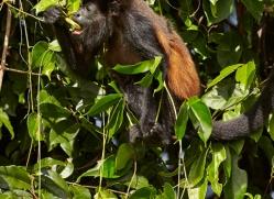 howler-monkey-5042-copyright-photographers-on-safari-com