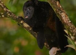 howler-monkey-5043-copyright-photographers-on-safari-com