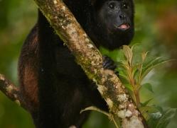 howler-monkey-5044-copyright-photographers-on-safari-com