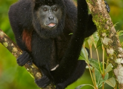 howler-monkey-5045-copyright-photographers-on-safari-com