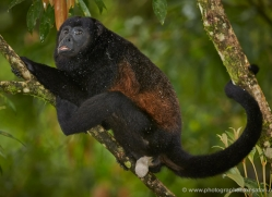 howler-monkey-5046-copyright-photographers-on-safari-com