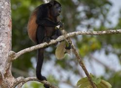 howler-monkey-copyright-photographers-on-safari-com-8031