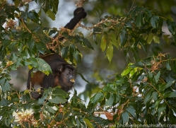 howler-monkey-copyright-photographers-on-safari-com-8032