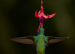 hummingbird-5124-copyright-photographers-on-safari-com