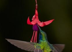 hummingbird-5125-copyright-photographers-on-safari-com