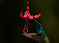 hummingbird-5126-copyright-photographers-on-safari-com