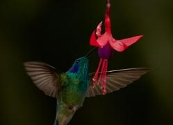 hummingbird-5127-copyright-photographers-on-safari-com