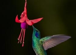hummingbird-5128-copyright-photographers-on-safari-com