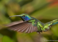 hummingbird-5137-copyright-photographers-on-safari-com