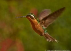 hummingbird-5174-copyright-photographers-on-safari-com
