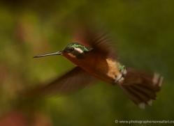 hummingbird-5175-copyright-photographers-on-safari-com