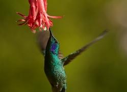 hummingbird-copyright-photographers-on-safari-com-8033